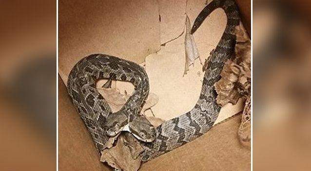 Thợ điện hốt hoảng phát hiện rắn đuôi chuông hai đầu trong nhà dân - 1