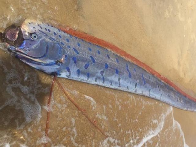 Xác cá hố rồng dài hơn 4m trôi dạt vào bờ biển ở Huế
