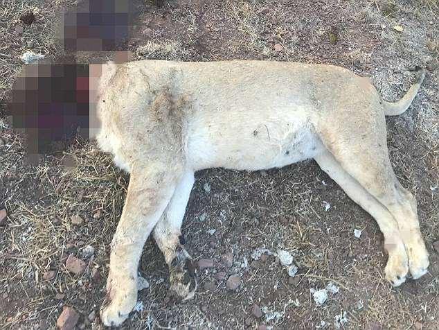 Hãi hùng cảnh 6 sư tử bị giết hại dã man để làm phép ở Nam Phi - 1
