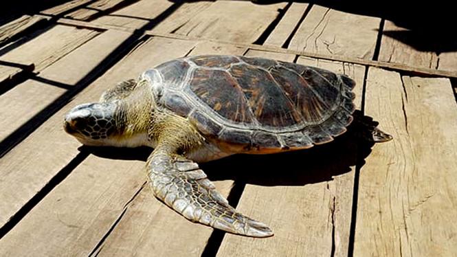 Bất ngờ bắt được rùa biển quý hiếm có hoa văn màu vàng và cái kết - 1