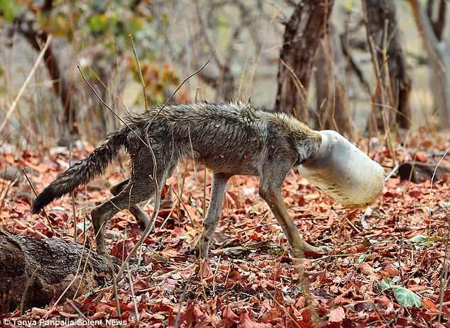 Thảm hại cảnh sói gầy trơ xương, kẹt đầu trong bình nhựa - 1