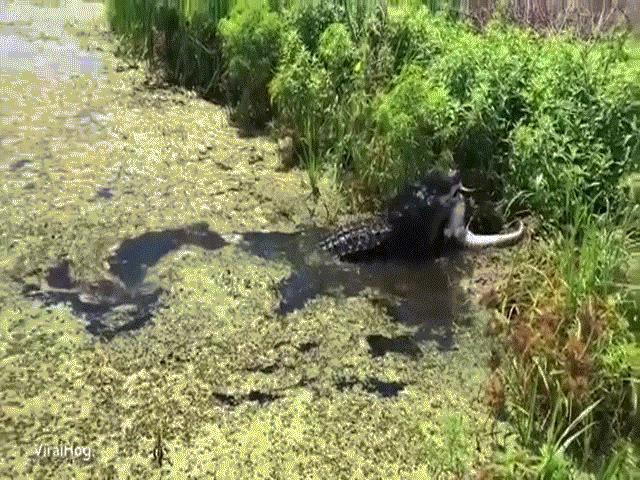 Video: Cá sấu khổng lồ phục kích, ăn thịt đồng loại ở Florida
