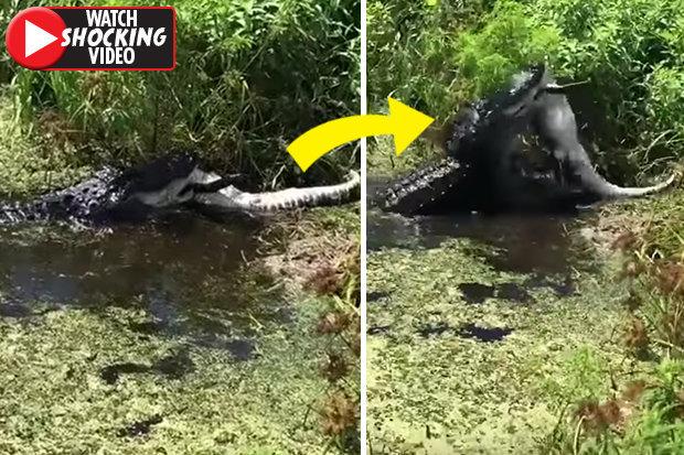 Video: Cá sấu khổng lồ phục kích, ăn thịt đồng loại ở Florida - 1