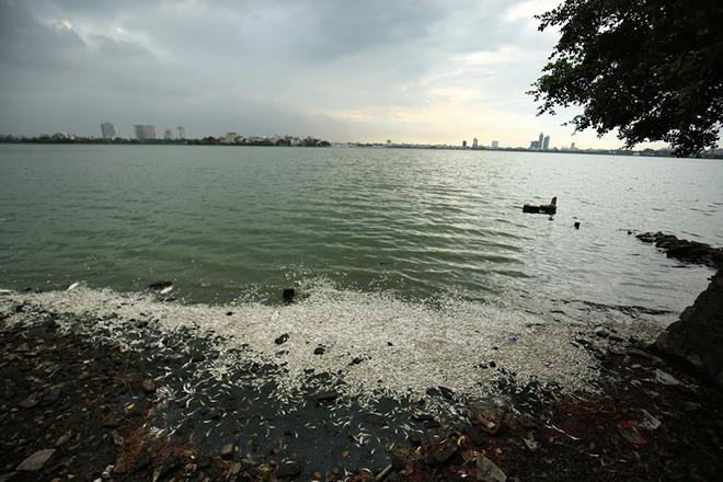 Cá ở Hồ Tây vẫn tiếp tục chết, vớt mãi không hết - 1