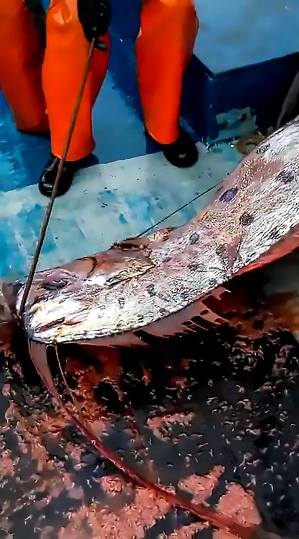 """Chile: Ngư dân bắt được cá rồng biển dài 5m có thể """"dự báo"""" thảm họa - 1"""
