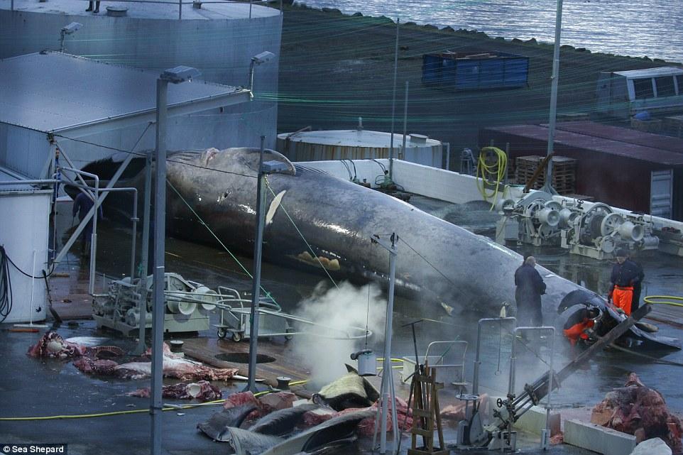 Cảnh xẻ thịt cá voi xanh to như tàu ngầm đầu tiên sau 50 năm ở Iceland - 1