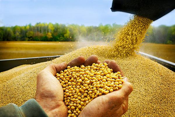 Вьетнам продолжит наращивать импорт соевых бобов