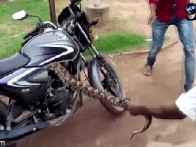 Video: Cật lực lôi con rắn khổng lồ ra khỏi xe côn tay