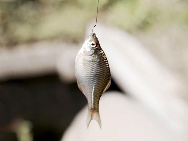 Nghệ thuật câu cá nhỏ như móng tay bằng cần câu 200 năm tuổi ở Nhật