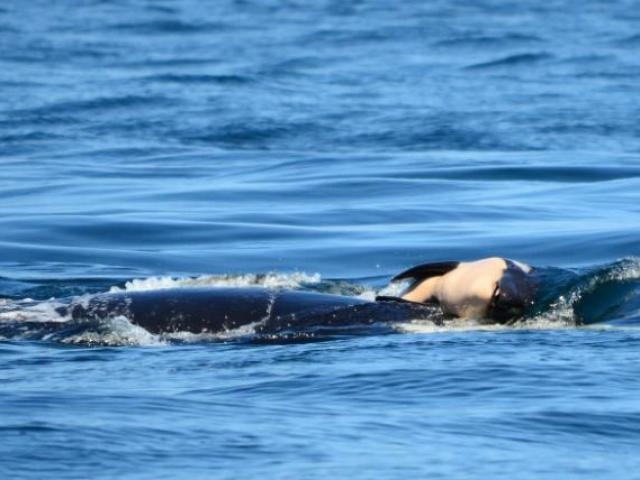 Cá voi mẹ mang xác con qua đại dương và lời cảnh báo với con người