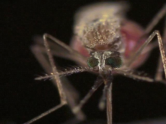 Giải mã hiện tượng vì sao bạn thường bị muỗi cắn nhiều hơn người khác