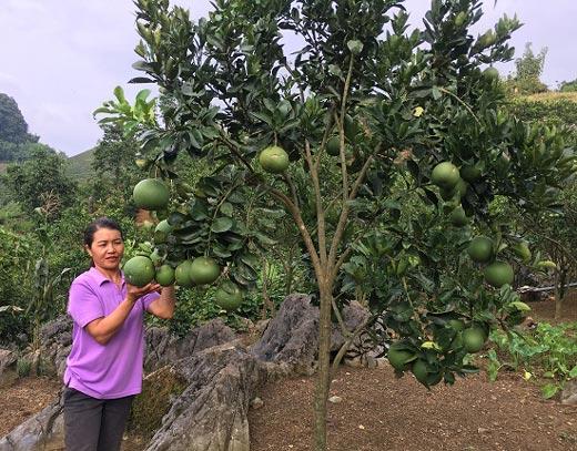 Ăn nên làm ra nhờ trồng 800 gốc bưởi Diễn trên đất dốc - 1