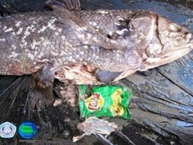 """Phát hiện điều đau lòng trong bụng loài cá """"hóa thạch sống"""""""