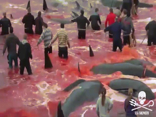 Cảnh thảm sát một lúc hơn 180 cá voi nhuộm đỏ vùng biển Đan Mạch