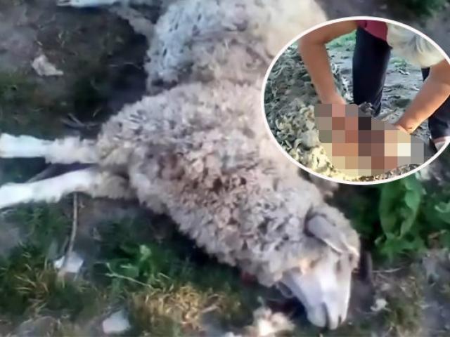 8 con cừu bị giết chết, hút cạn sạch máu một cách bí ẩn