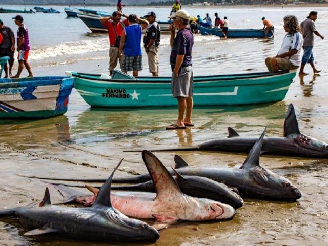 Nhu cầu của người TQ có thể khiến cá mập ngoài đại dương... hết sạch?