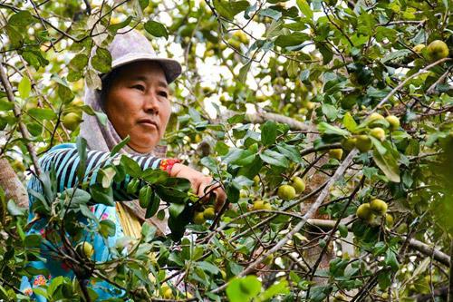 """Lên núi hái """"lộc rừng"""", nông dân Tỏa Tình thu tiền triệu mỗi ngày - 1"""
