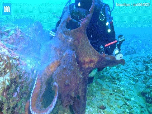 Bạch tuộc khổng lồ bị làm phiền, nổi điên tấn công thợ lặn Nga
