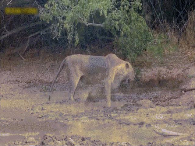 """Sư tử quằn quại sau cú """"táp"""" của loài rắn cực độc"""