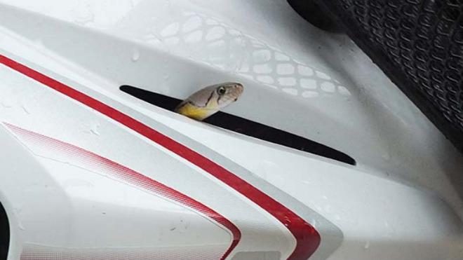 SỐC: Thắp hương, quỳ lạy rắn mới chịu ra khỏi xe Honda Wave - 1