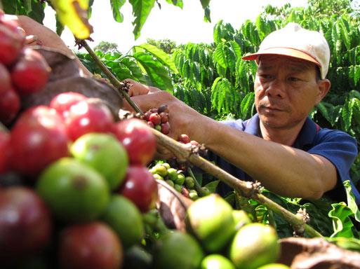 Giá cà phê thấp kỷ lục, chưa vào vụ mới nhà nông đã lo thua lỗ - 1