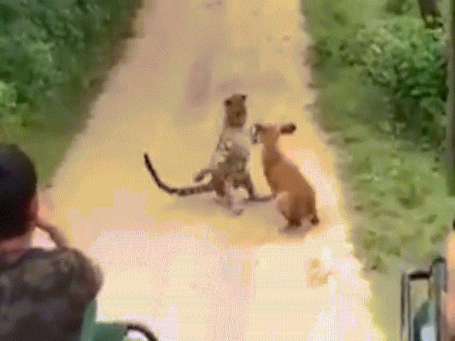 Chó lạc bị thương dũng cảm chiến đấu với báo đốm