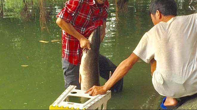 Cần thủ câu được cá trê khủng hàng chục cân tại Hồ Gươm - 1
