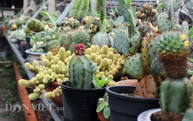 Xương rồng được biết đến là một loại thực vật đa dạng, được phân chia thành nhiều chi và nhiều loài khác nhau. Ảnh: Nguyên Vỹ