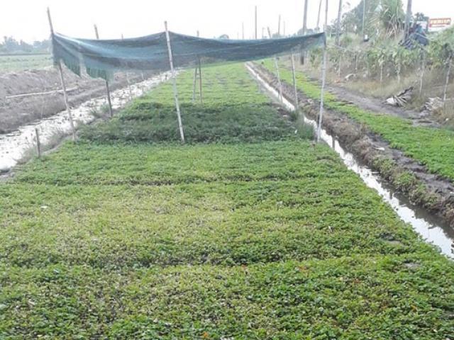 """Cả làng """"ăn"""" khoai lang, riêng anh trồng rau má, thu 800 ngàn/ngày"""