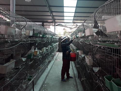 Trai thủ đô đi du học về... nuôi chim bồ câu - 1