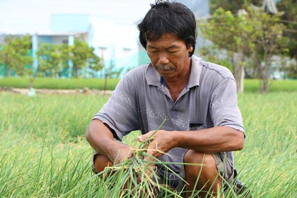 """Nông dân trồng hành Ninh Thuận lao đao vì... thương lái """"ngó lơ"""" - 1"""