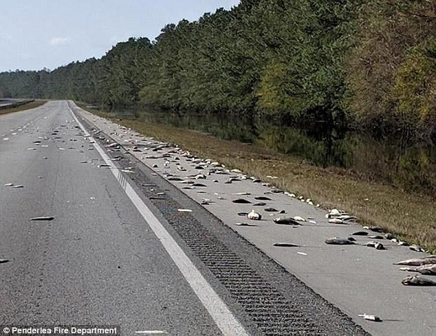 Hàng trăm cá chết rải khắp đường cao tốc Mỹ sau siêu bão Florence - 1