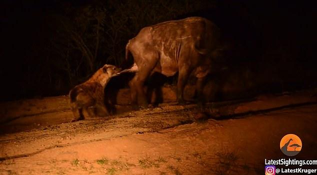 Video: Trâu đánh đuổi đàn sư tử, bị linh cẩu ngoạm chỗ hiểm - 1