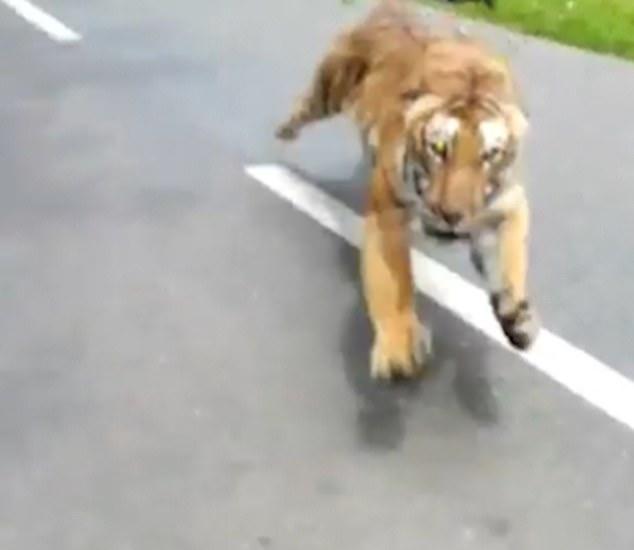 Video: Đang lái xe máy, sợ chết khiếp thấy hổ trong rừng xồ ra theo sát - 1