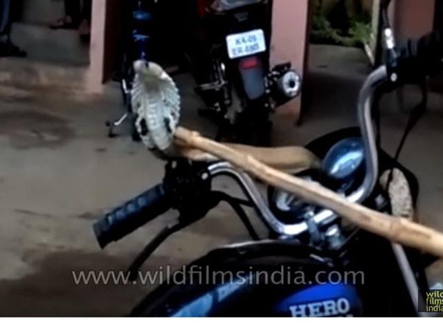 """Video: Rắn hổ mang """"chiếm"""" quyền điều khiển xe của biker"""