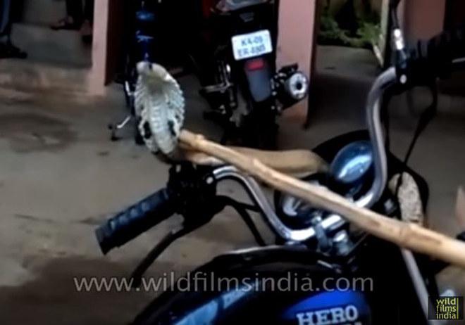 """Video: Rắn hổ mang """"chiếm"""" quyền điều khiển xe của biker - 1"""