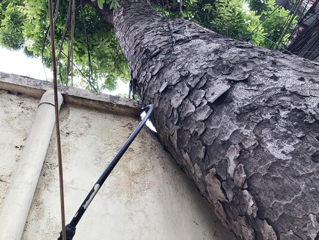 Không ít ngôi nhà cây cổ thụ to, lớn phải bằng 2 vòng tay người lớn ôm mới vừa mọc giữa nhà.