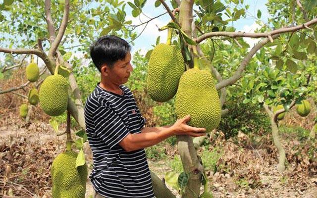 Cục Trồng Trọt lên tiếng cảnh báo việc dân trồng ồ ạt cây mít Thái - 1