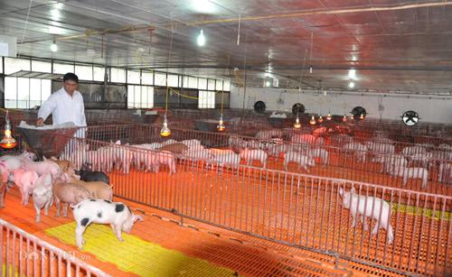 Mất 3,3 triệu con lợn, chấp nhận sống chung với dịch tả lợn châu Phi - 1