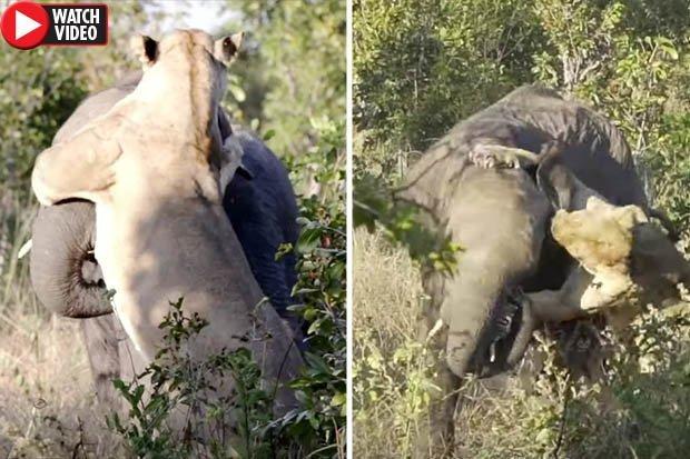 Video: Sư tử cái một mình tấn công voi trưởng thành tạo cảnh tượng kinh ngạc - 1