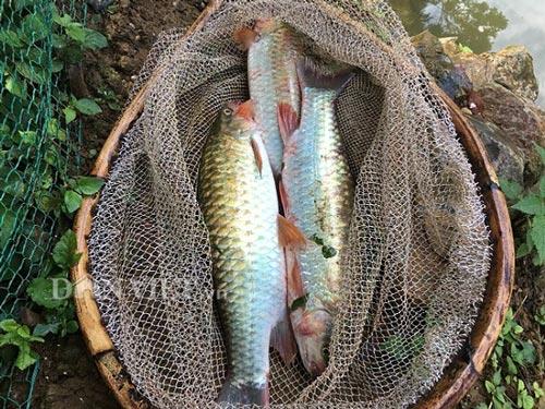 Nuôi loài cá quý ăn cỏ như dê, chỉ 1 ao bé tý mà thu 80 triệu đồng - 1