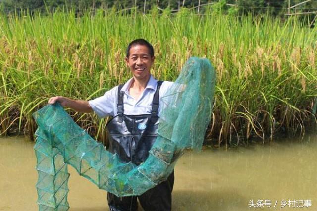 Trồng lúa kết hợp nuôi ếch, 8X đút túi hơn 100 triệu mỗi mẫu - 1