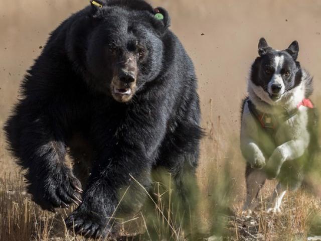 Thấy gấu dữ vào vườn tìm thức ăn, chú chó phục kích tấn công bất ngờ