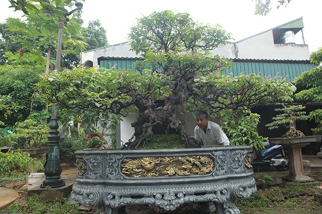 Cây khế độc đáo này thuộc sở hữu của ông Phạm Khắc Kha (TP. Việt Trì, Phú Thọ).