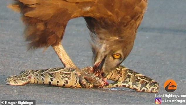 Khoảnh khắc đại bàng ăn sống rắn kịch độc, khiến con mồi đau đớn tột cùng - 1