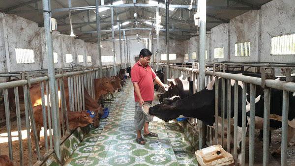 Lâm Đồng: Nuôi loài bò Tây đẹp như tranh vẽ, lãi mỗi năm hơn 1 tỷ - 1