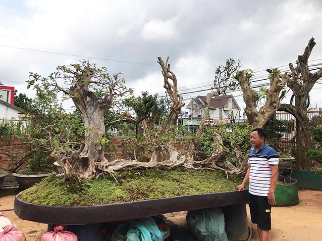 """Anh Lê Minh (Lào Cai), chủ nhân của """"siêu"""" ổi nhiều năm tuổi cho biết, anh mới đổi ngang cây thạch lựu cổ đại lớn nhất Việt Nam lấy cây ổi """"Cửu long quần thụ"""" có tuổi đời hơn 100 năm."""