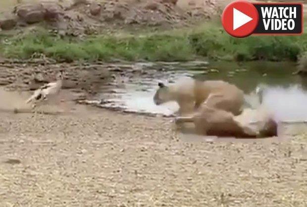 Video:Sư tử lao tới như tên bắn, không ngờ bị linh dương dùng chiêu hiểm làm cho bẽ mặt - 1