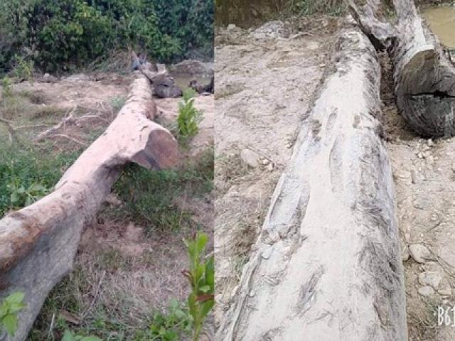 Hà Tĩnh: Phát hiện cây gỗ quý hàng trăm năm tuổi nằm sâu dưới lòng suối
