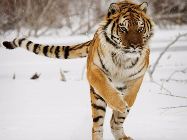 Xem trung tâm nhân giống lớn nhất thế giới huấn luyện hổ săn mồi